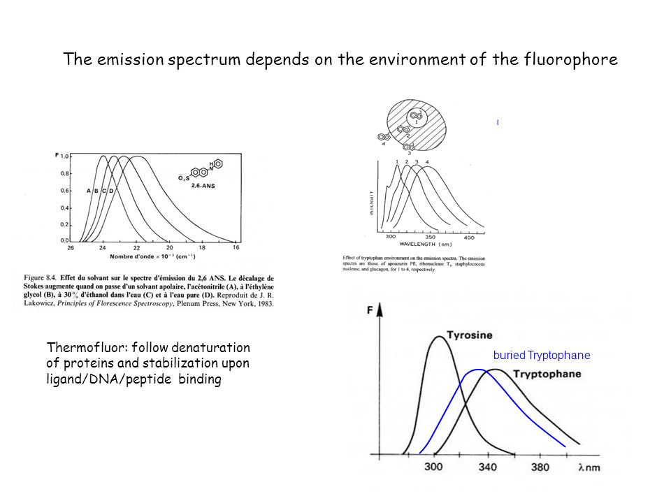 The emission spectrum depends on the environment of the fluorophore