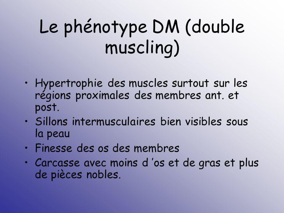 Le phénotype DM (double muscling)
