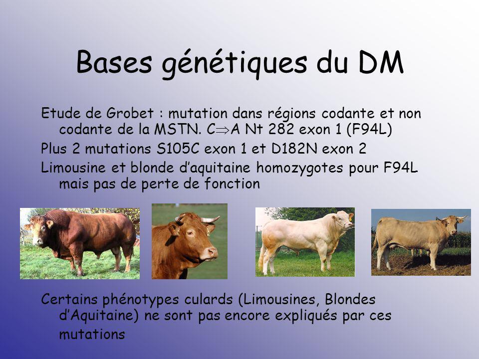 Bases génétiques du DM Etude de Grobet : mutation dans régions codante et non codante de la MSTN. CA Nt 282 exon 1 (F94L)