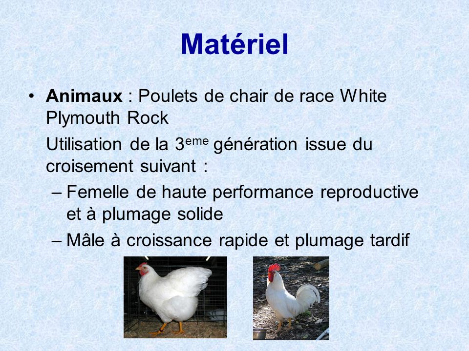 Matériel Animaux : Poulets de chair de race White Plymouth Rock