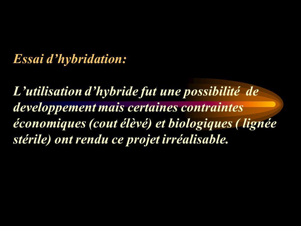 Essai d'hybridation: L'utilisation d'hybride fut une possibilité de developpement mais certaines contraintes économiques (cout élèvé) et biologiques ( lignée stérile) ont rendu ce projet irréalisable.