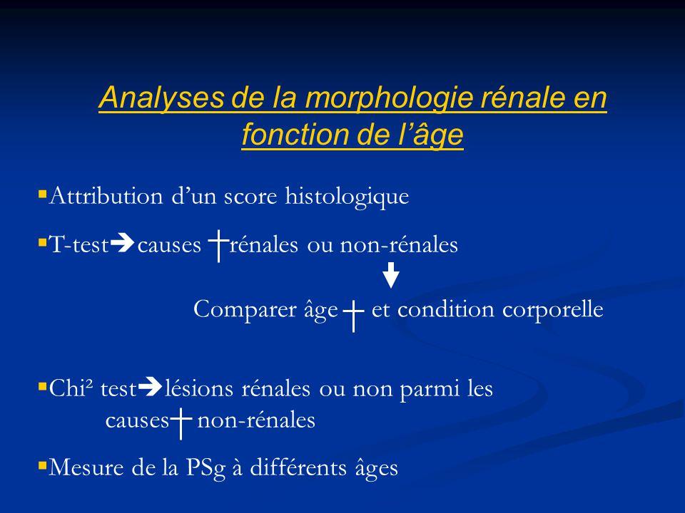 Analyses de la morphologie rénale en fonction de l'âge