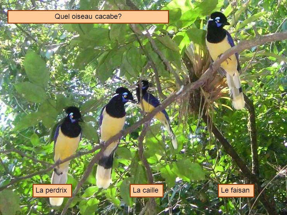 Quel oiseau cacabe La perdrix La caille Le faisan