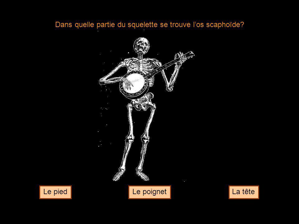 Dans quelle partie du squelette se trouve l'os scaphoïde