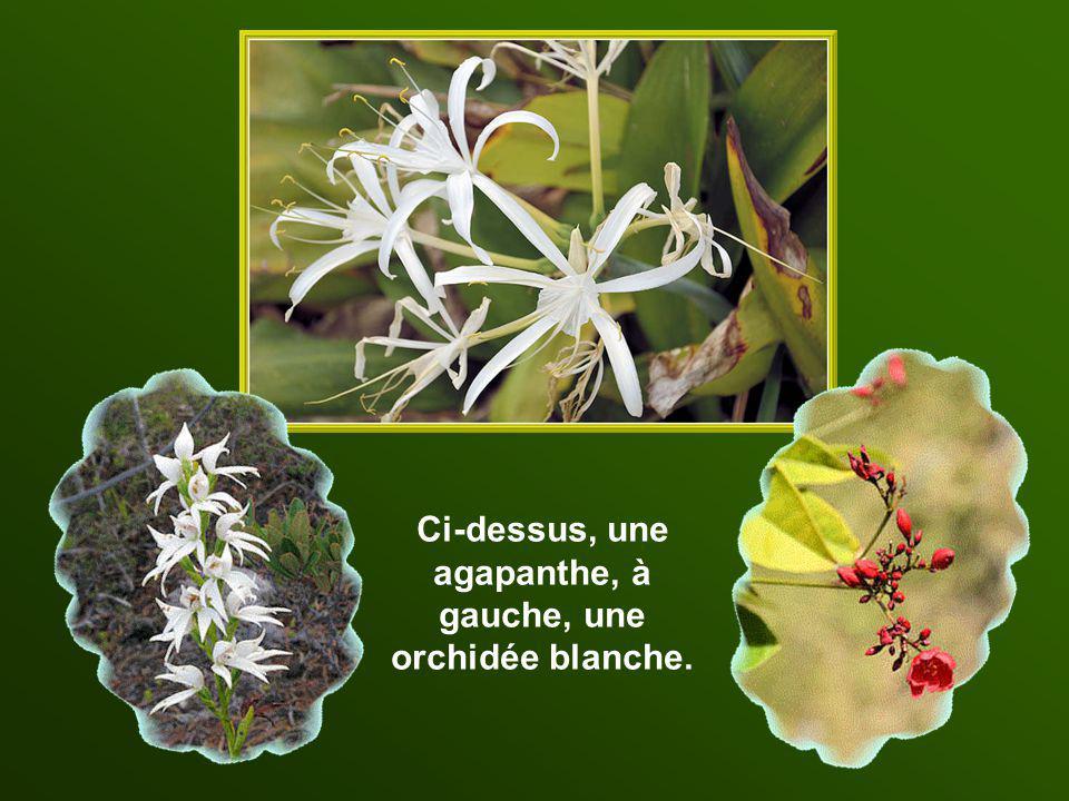 Ci-dessus, une agapanthe, à gauche, une orchidée blanche.