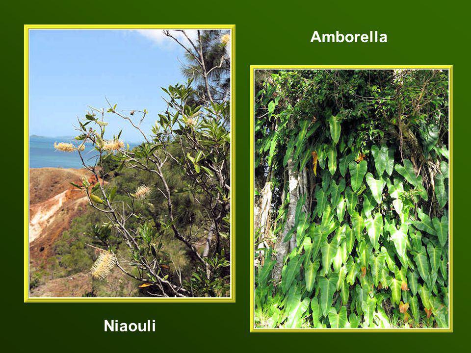 Amborella Niaouli