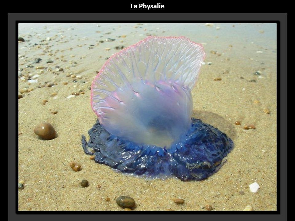 La Physalie
