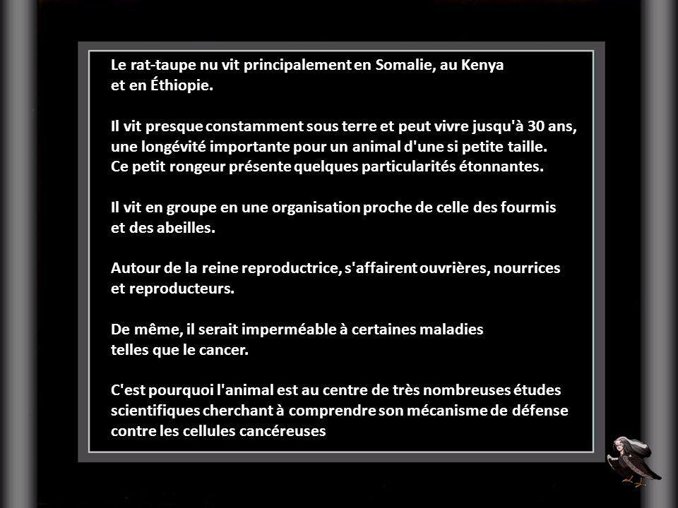 Le rat-taupe nu vit principalement en Somalie, au Kenya