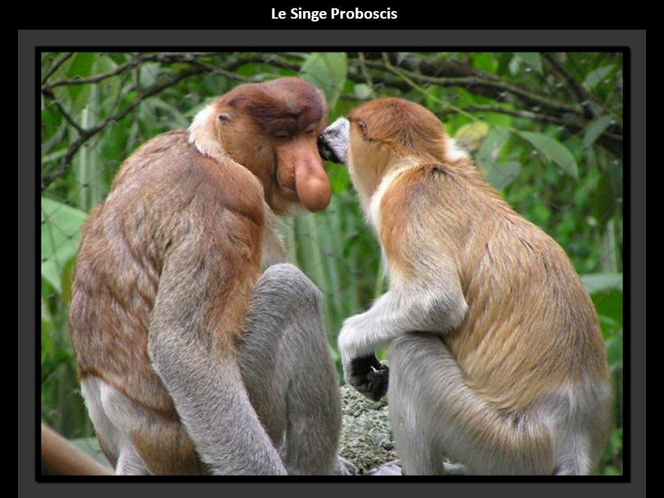 Le Singe Proboscis