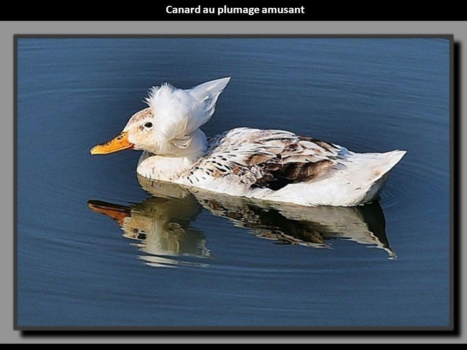 Canard au plumage amusant