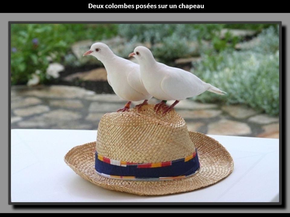 Deux colombes posées sur un chapeau
