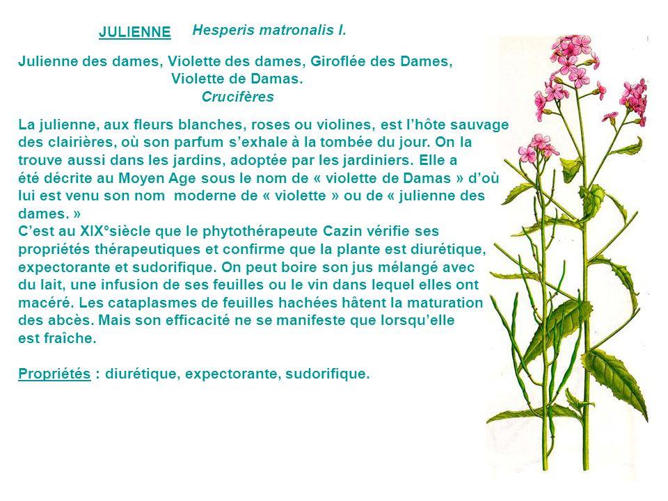 Julienne des dames, Violette des dames, Giroflée des Dames,