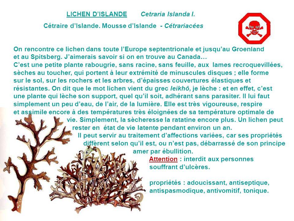 LICHEN D'ISLANDE Cetraria Islanda I. Cétraire d'Islande. Mousse d'Islande - Cétrariacées.