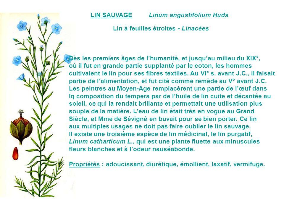 LIN SAUVAGE Linum angustifolium Huds. Lin à feuilles étroites - Linacées. Dès les premiers âges de l'humanité, et jusqu'au milieu du XIX°,