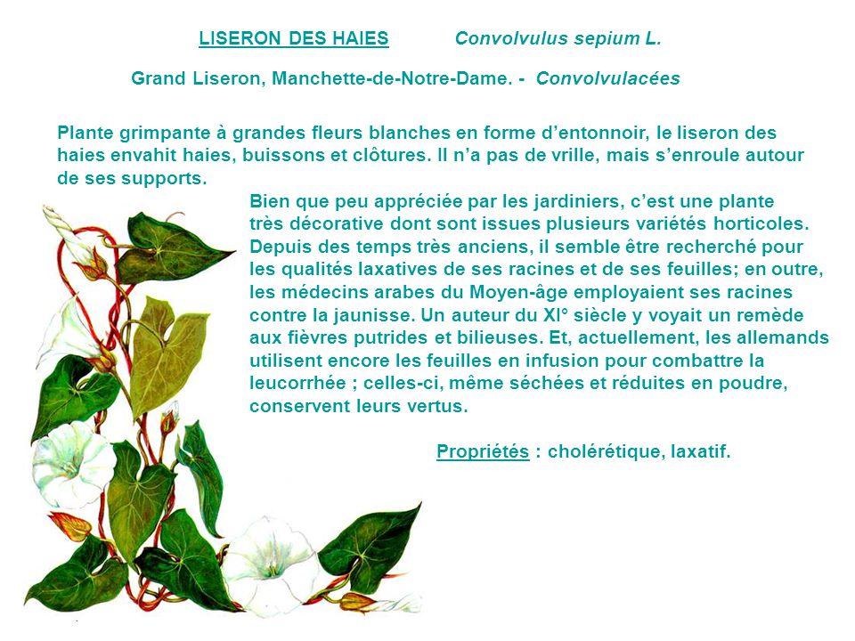 LISERON DES HAIES Convolvulus sepium L. Grand Liseron, Manchette-de-Notre-Dame. - Convolvulacées.