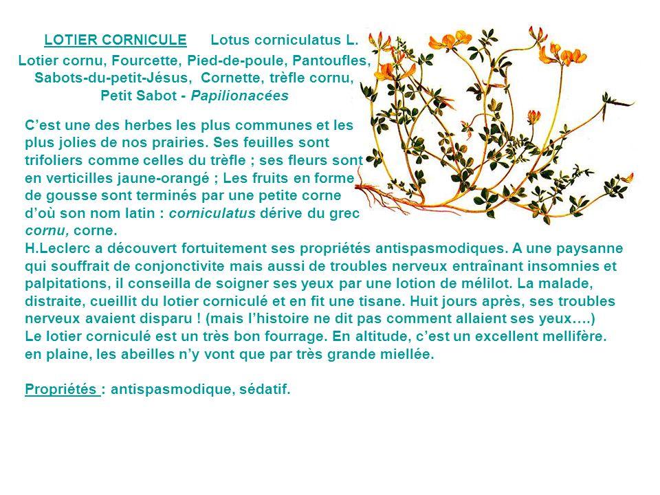 Lotier cornu, Fourcette, Pied-de-poule, Pantoufles,