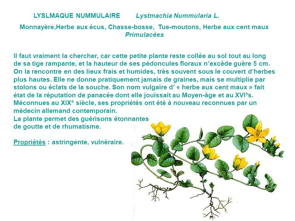 LYSLMAQUE NUMMULAIRE Lystmachia Nummularia L. Monnayère,Herbe aux écus, Chasse-bosse, Tue-moutons, Herbe aux cent maux.