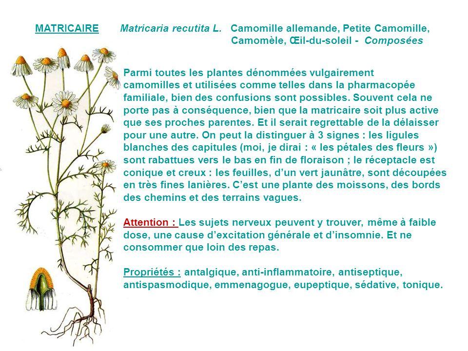 MATRICAIRE Matricaria recutita L. Camomille allemande, Petite Camomille, Camomèle, Œil-du-soleil - Composées.