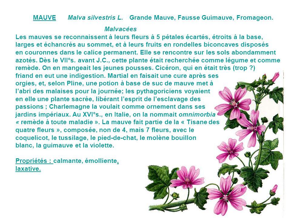 MAUVE Malva silvestris L. Grande Mauve, Fausse Guimauve, Fromageon. Malvacées.