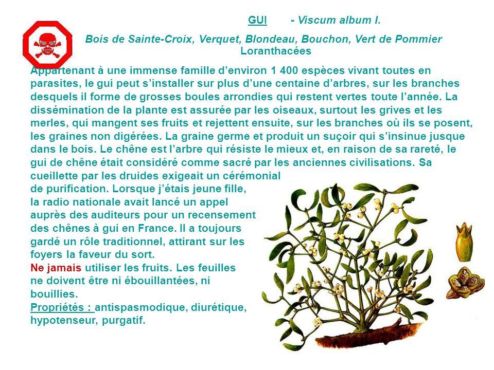 GUI - Viscum album I. Bois de Sainte-Croix, Verquet, Blondeau, Bouchon, Vert de Pommier. Loranthacées.