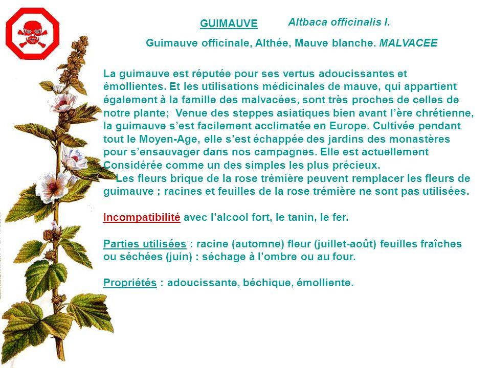 GUIMAUVE Altbaca officinalis I. Guimauve officinale, Althée, Mauve blanche. MALVACEE. La guimauve est réputée pour ses vertus adoucissantes et.