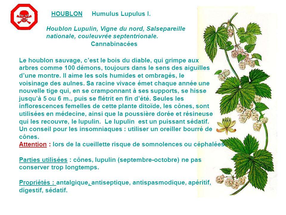 HOUBLON Humulus Lupulus I. Houblon Lupulin, Vigne du nord, Salsepareille. nationale, couleuvrée septentrionale.