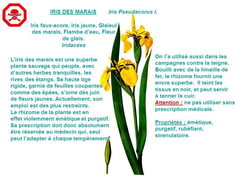 Iris faux-acore, Iris jaune, Glaïeul des marais, Flambe d'eau, Fleur