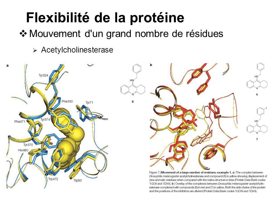 Flexibilité de la protéine