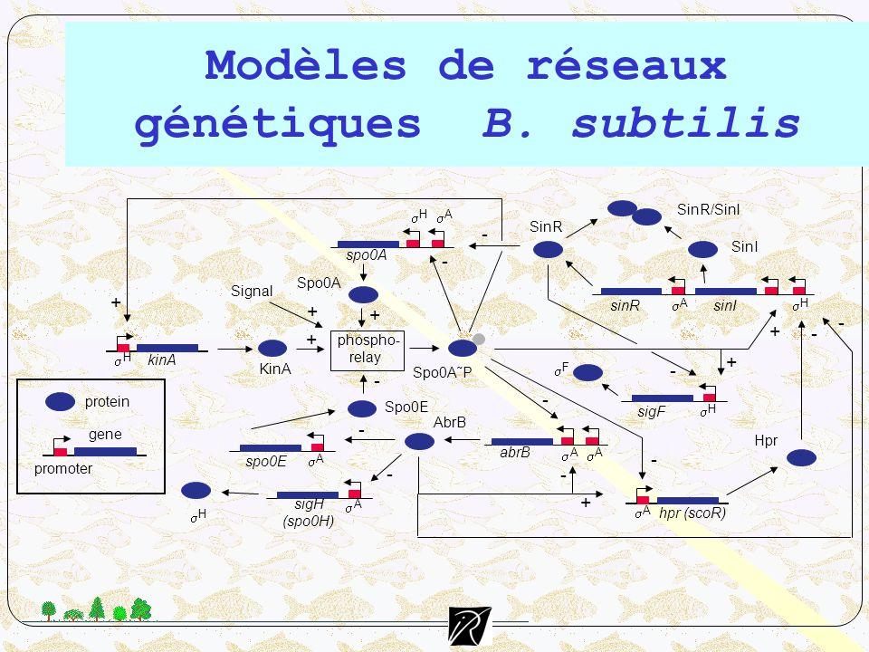 Modèles de réseaux génétiques B. subtilis