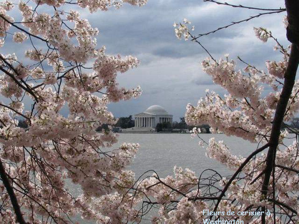 Fleurs de cerisier à Washington