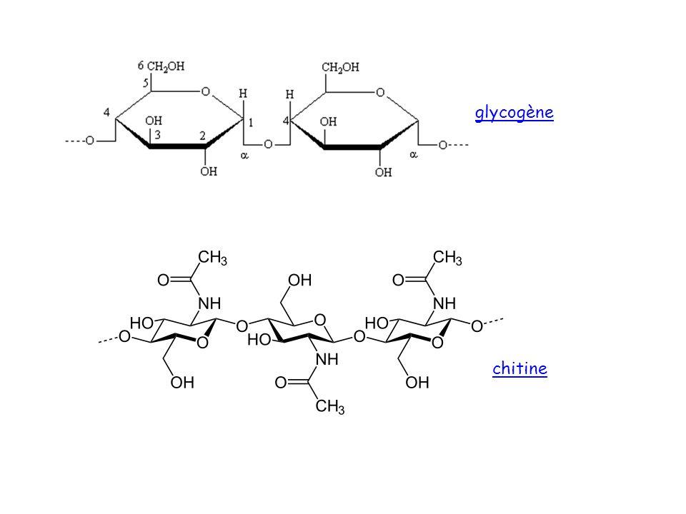 glycogène chitine