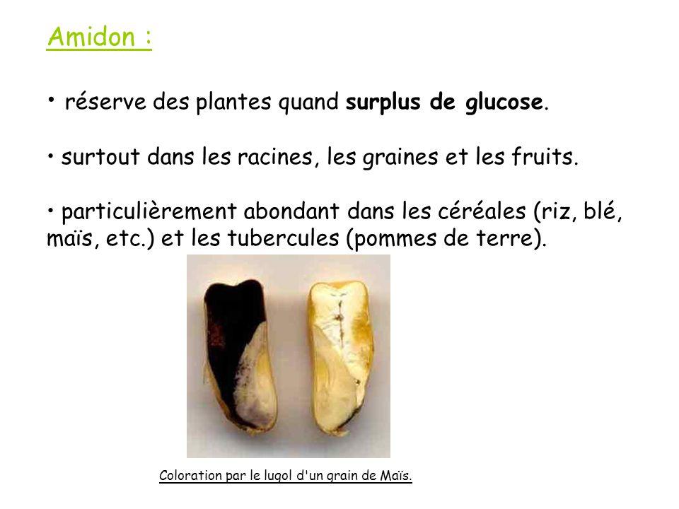 réserve des plantes quand surplus de glucose.