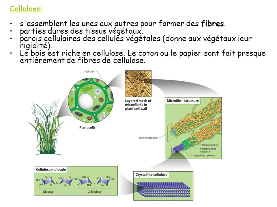 Cellulose: s assemblent les unes aux autres pour former des fibres. parties dures des tissus végétaux.