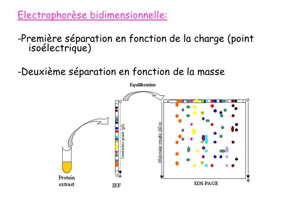 Electrophorèse bidimensionnelle: