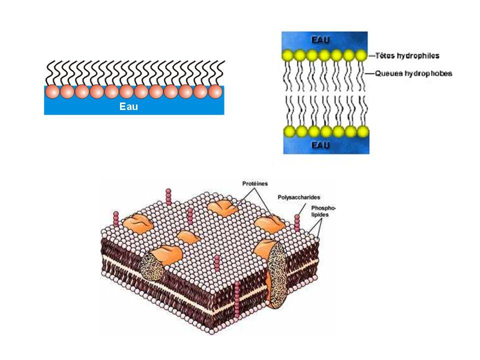 Placées dans de l eau, les molécules de phospholipides ont tendance à former une couche