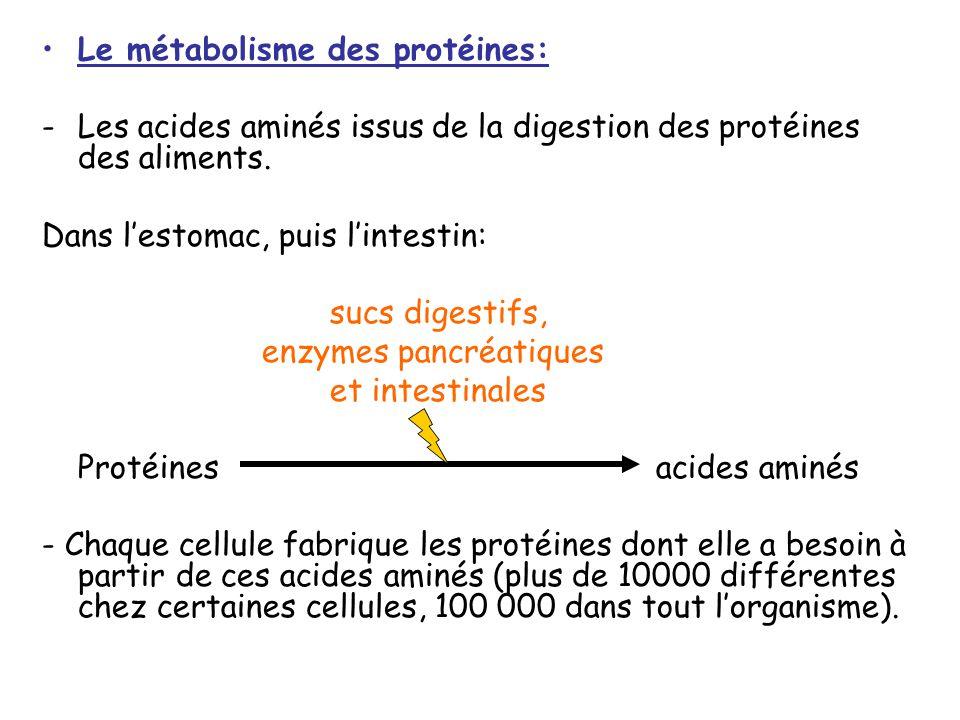 Le métabolisme des protéines: