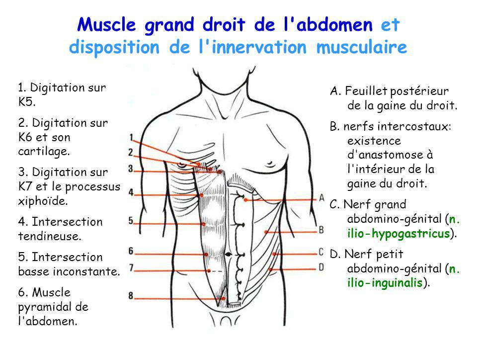 Muscle grand droit de l abdomen et disposition de l innervation musculaire