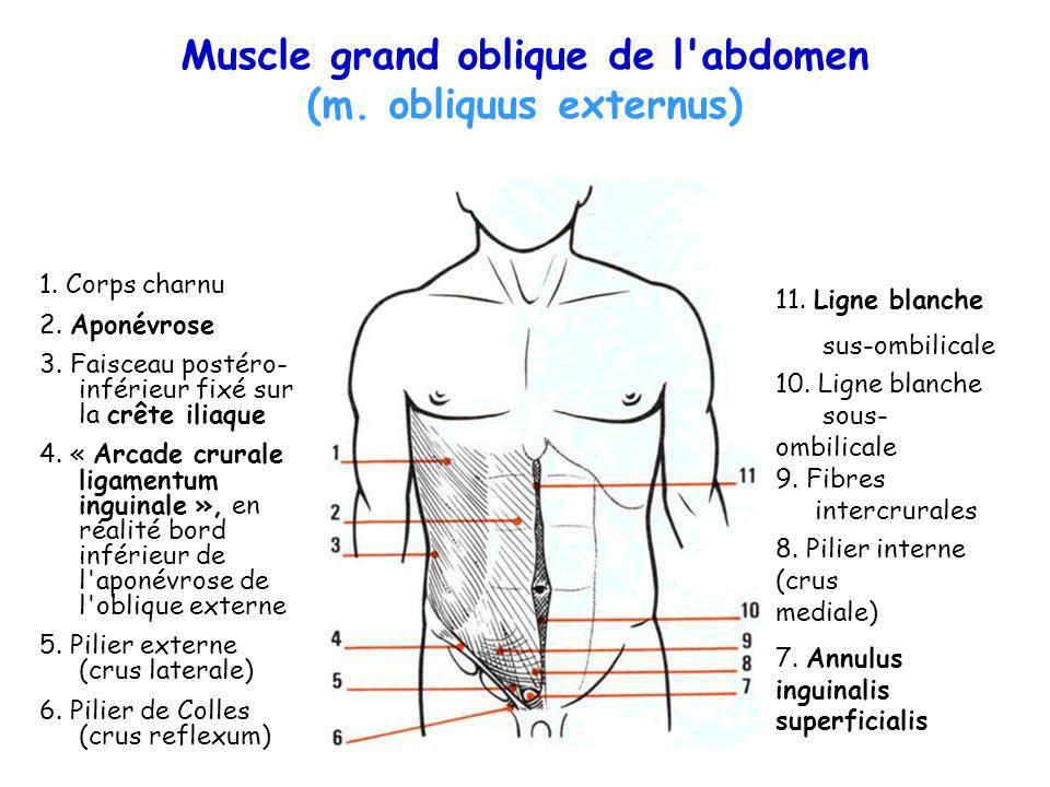 Muscle grand oblique de l abdomen (m. obliquus externus)