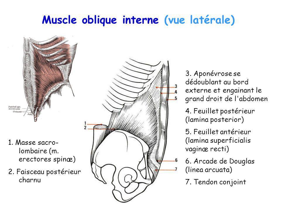 Muscle oblique interne (vue latérale)