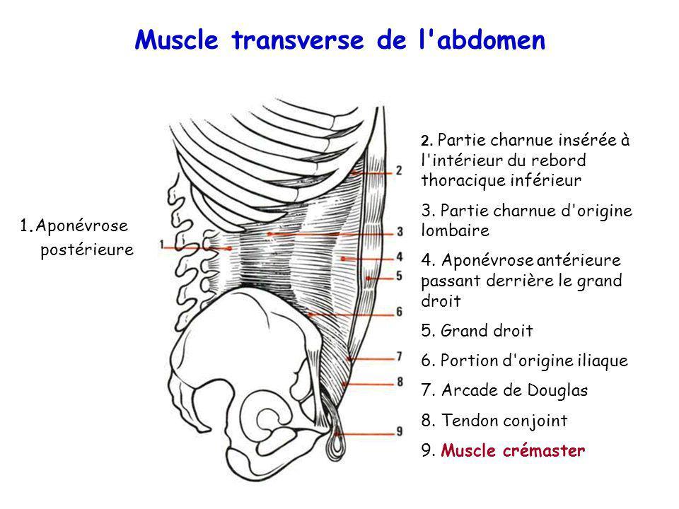 Muscle transverse de l abdomen
