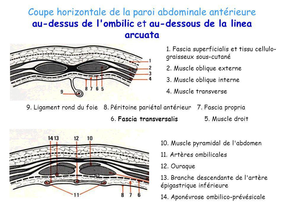 Coupe horizontale de la paroi abdominale antérieure au-dessus de l ombilic et au-dessous de la linea arcuata