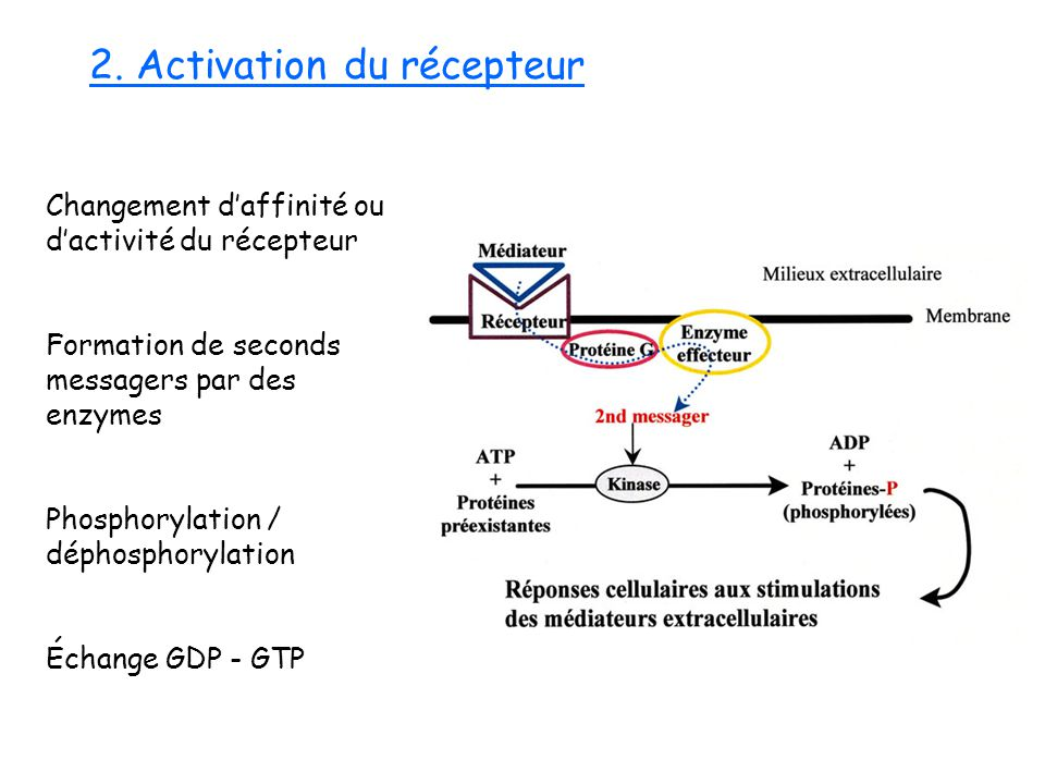 2. Activation du récepteur