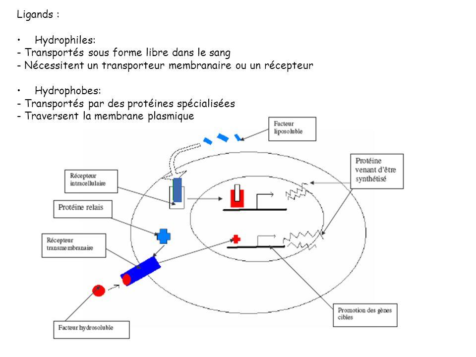 Ligands : Hydrophiles: - Transportés sous forme libre dans le sang. - Nécessitent un transporteur membranaire ou un récepteur.