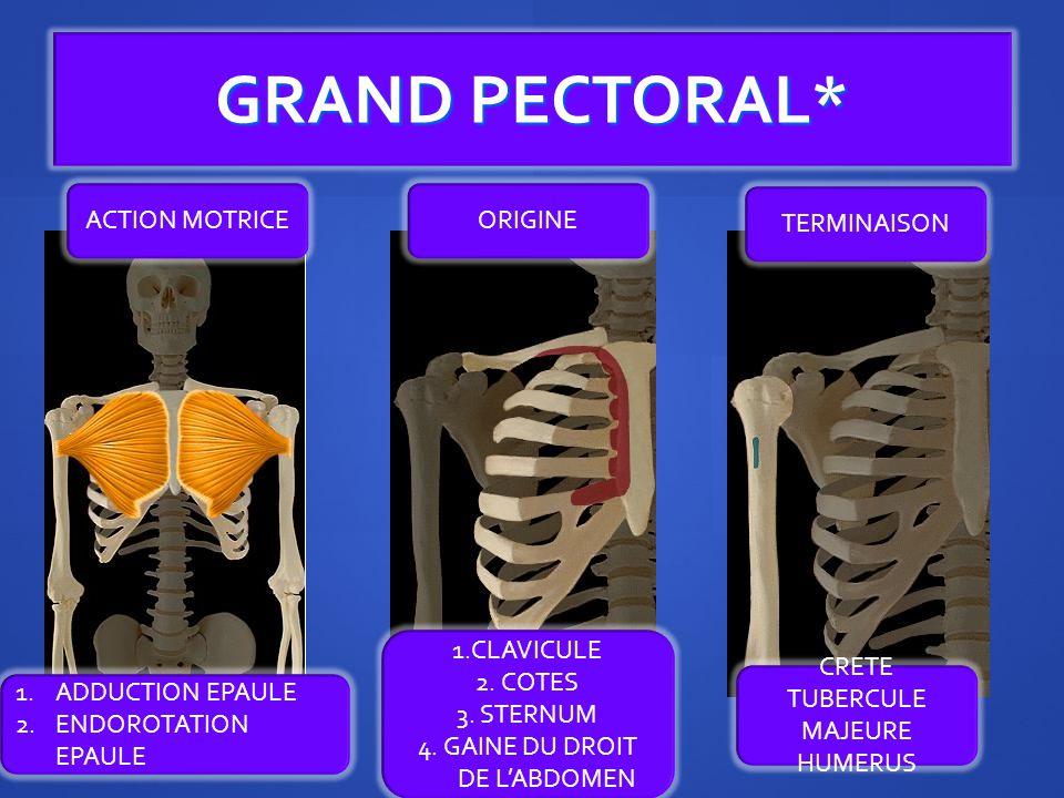 GRAND PECTORAL* ACTION MOTRICE ORIGINE TERMINAISON 1.CLAVICULE
