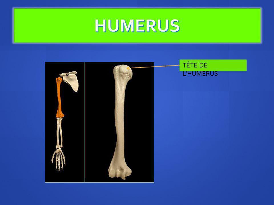 HUMERUS TÊTE DE L'HUMERUS