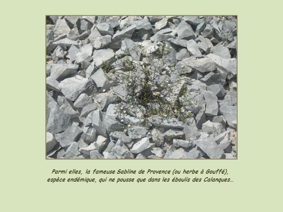Parmi elles, la fameuse Sabline de Provence (ou herbe à Gouffé), espèce endémique, qui ne pousse que dans les éboulis des Calanques…