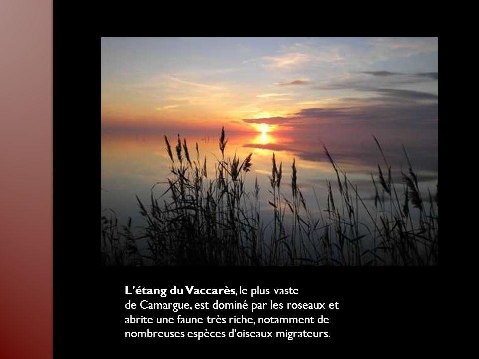 L étang du Vaccarès, le plus vaste de Camargue, est dominé par les roseaux et abrite une faune très riche, notamment de nombreuses espèces d oiseaux migrateurs.