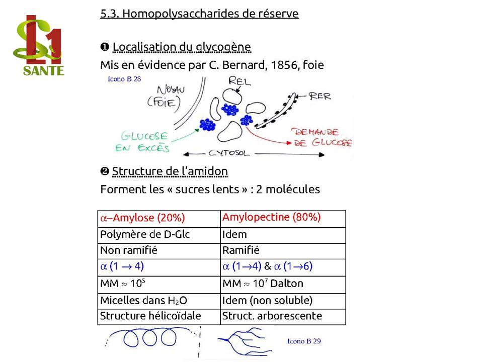5.3. Homopolysaccharides de réserve