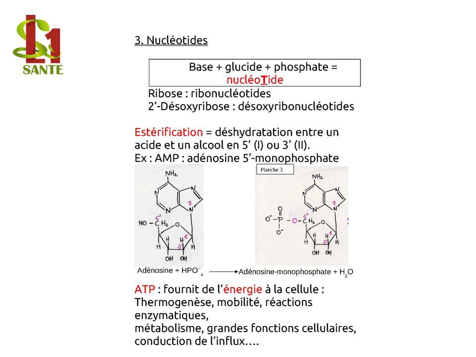 3. Nucléotides