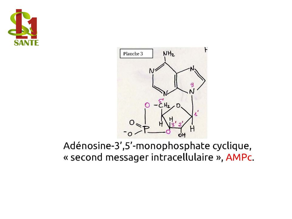Adénosine-3',5'-monophosphate cyclique, « second messager intracellulaire », AMPc.